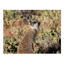Watchful meerkat postcard