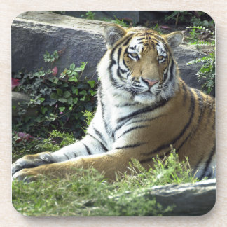 Watchful Tiger Coasters