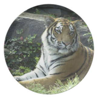 Watchful Tiger Plate