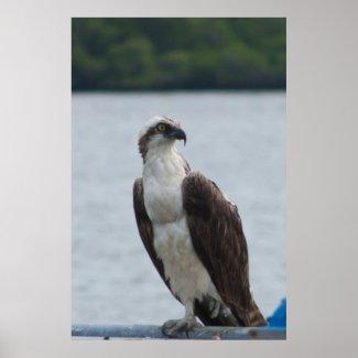 Watching Hawk Poster