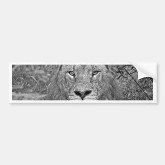 Watching Lion, South Africa Bumper Sticker