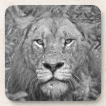 Watching Lion, South Africa Drink Coaster
