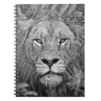 Watching Lion, South Africa Notebook