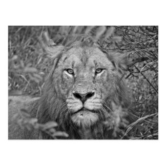 Watching Lion, South Africa Postcard
