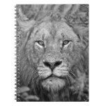 Watching Lion, South Africa Spiral Note Books