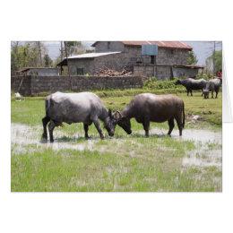 Water Buffalo Butting Heads Card