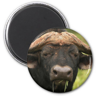 Water Buffalo  Magnet Magnets