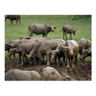 Water Buffalo On Bank Post Cards