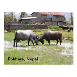 Water Buffalo Playfully Butting Heads Postcard
