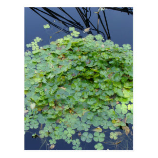 Water clover, Marsilea mutica Postcard