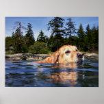 Water Dog - Fine Art Prints Print