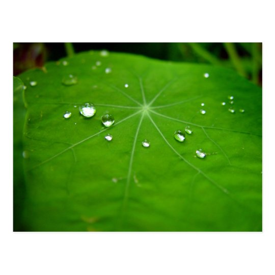 Water droplets on nasturtium leaf postcard