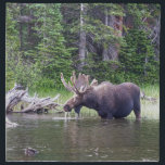 "Water Feeding Moose Napkin<br><div class=""desc"">It was a great sight to see this moose hanging out in the water. When it feeds in water, moose show no fear of putting their head underwater. It will dip its head completely beneath the surface to get at succulent roots. Moose are strong swimmers and have been known to...</div>"