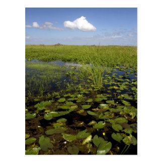 Water lilies and sawgrass in Florida everglades Postcard