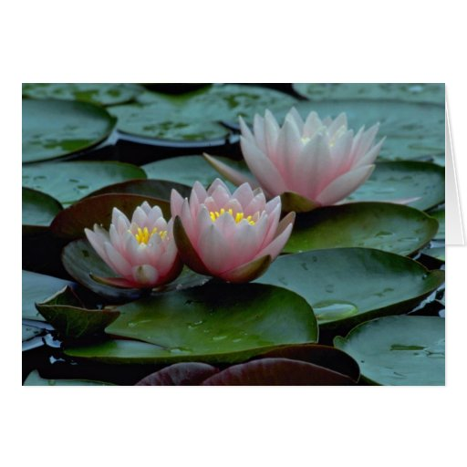 Water Lilies In Pink Greeting Card