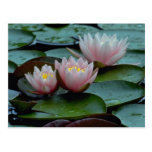 Water Lilies In Pink Postcards