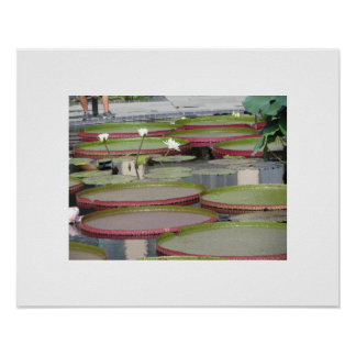 Water Lilies with Flowers in Longwood Gardens Poster