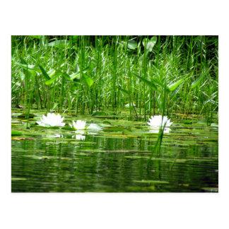 Water Lillies Postcard