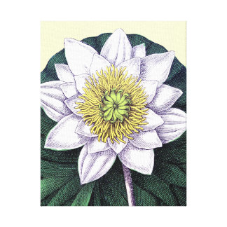 Water Lilly Gallery Wrapped Canvas