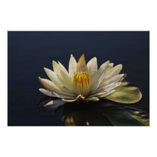 Water lilly posters, prints, image & photographs