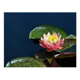 Water lily 2 postcards