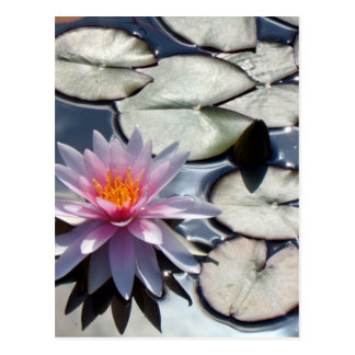 water-lily-322 postcard
