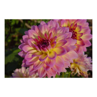 Water Lily Dahlia Print