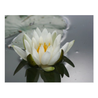 Water Lily Flower Photography Postcard