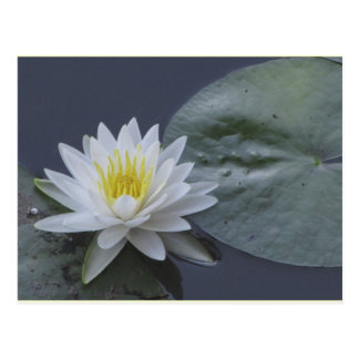 Water Lily Flower Postcard