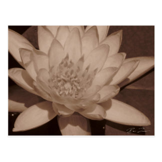 Water Lily in sepia tone Postcard