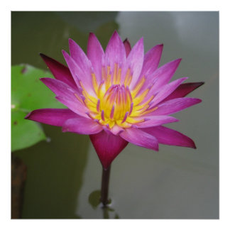 Water Lily in Thailand Poster