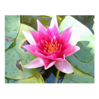 Water Lily Lotus Flower Postcard