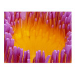 Water Lily Macro Postcard