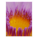 Water Lily Macro Posters