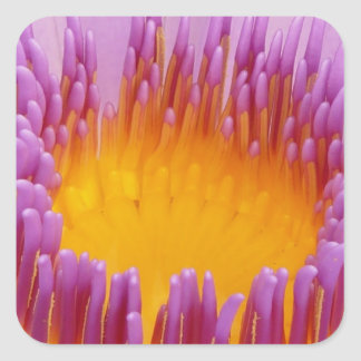 Water Lily Macro Square Sticker