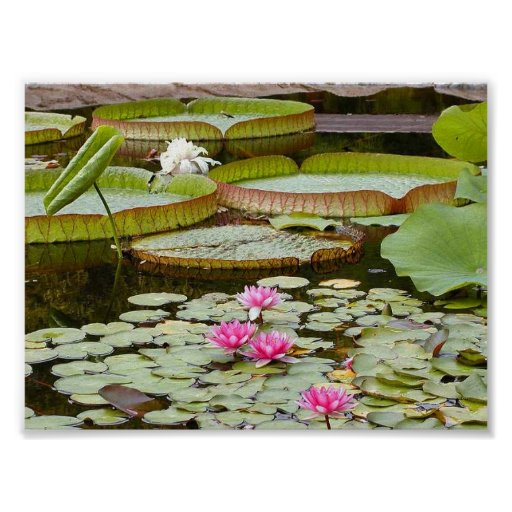 Water Lily Pads Ponds Print