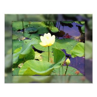 Water lily photo art