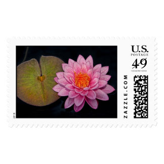 Water Lily Pink Close Up Postage