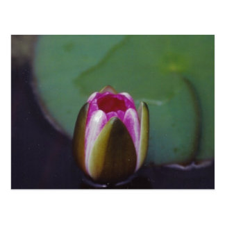 Water Lily - postcard