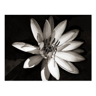Water Lily Postcard