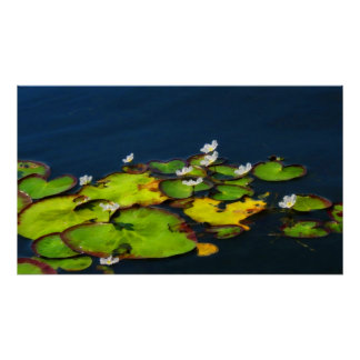 Water Lily Poster Print