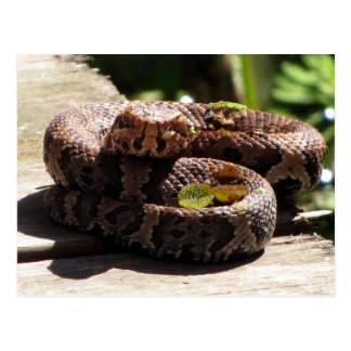 Water Moccasin Post Card