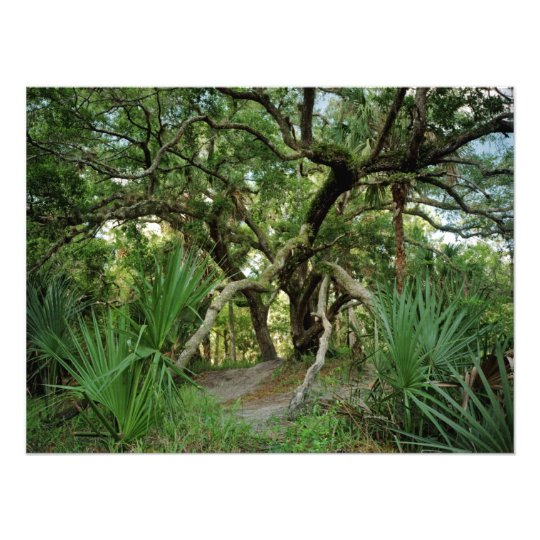 Water Oak. Three Lakes, Osceola Co., Fl. Photo Print