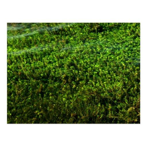 Water plants underwater in pond postcard