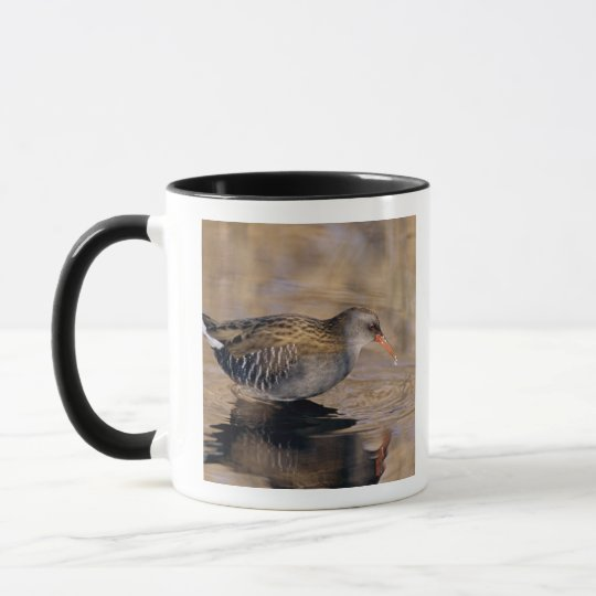 Water Rail, Rallus aquaticus, adult feeding in Mug