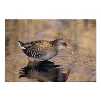 Water Rail Rallus aquaticus adult feeding in Photo Print
