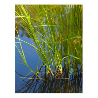 Water reeds growing out of the water postcard