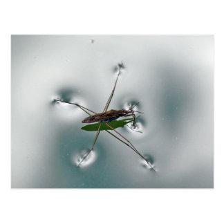 Water strider postcard