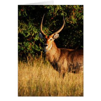 Waterbuck - blank safari greeting cards