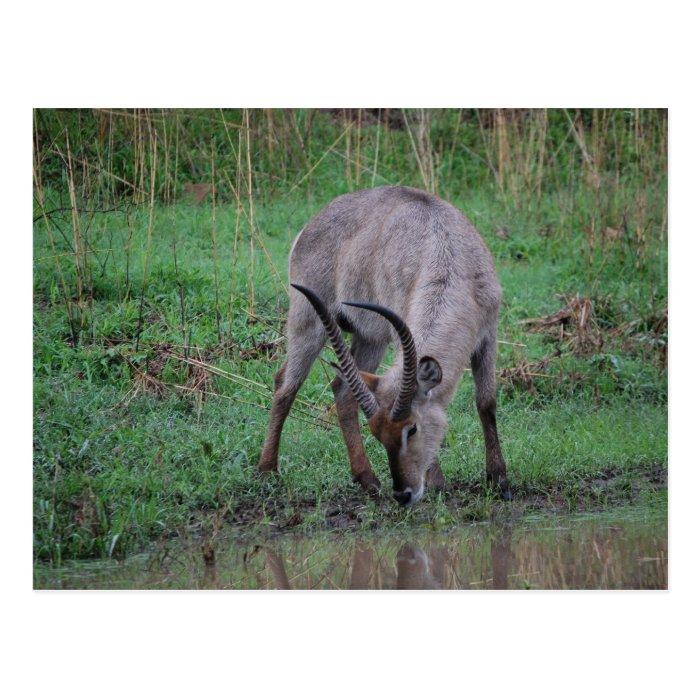 Waterbuck in Kruger Postcard